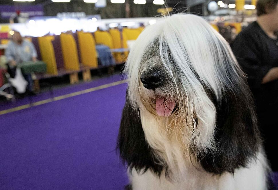 Baker, a Tibetan Terrier, is ready to compete on Monday. (Mark Lennihan / The Associated Press)