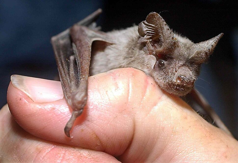 7. All bats (Chiroptera). (Larry Kolvoord / The Associated Press)