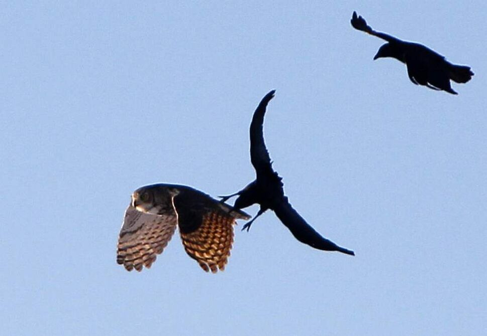 Crows attack the owl within 15 minutes of its release. December 4, 2012  (BORIS MINKEVICH / WINNIPEG FREE PRESS)