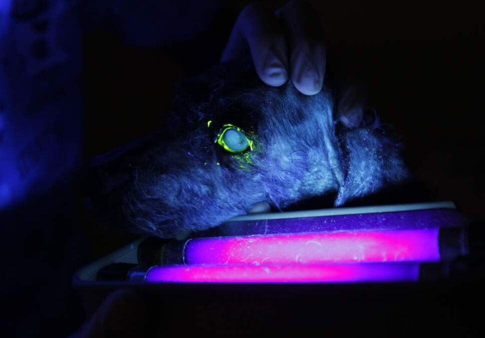 A dog's eyes are illuminated by ultraviolet light. The vet administers special eye drops that can illuminate eye problems. (Boris Minkevich/Winnipeg Free Press)