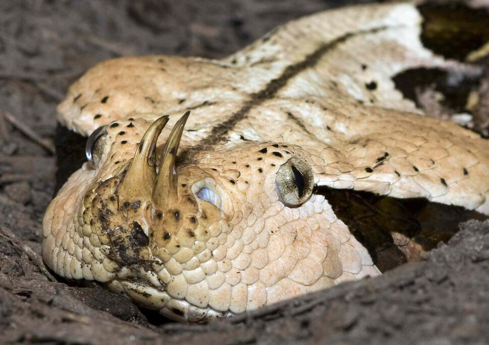 10. (b) all front-fanged venomous snakes, even if devenomized, including, but not limited to: i. all Viperidae (e.g. viper, pit viper) (pictured: Gaboon viper), ii. all Elapidae (e.g. cobra, mamba, krait, coral snake), iii. all Atractaspididae (e.g. African burrowing asp), iv. all Hydrophiidae (e.g. sea snake), and v. all Laticaudidae (e.g. sea krait).  (CP)