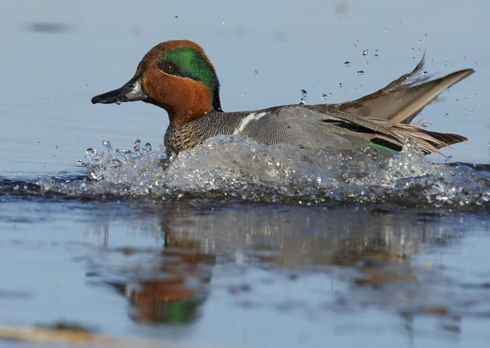 A green-winged teal hits the water as it lands in Delta Marsh. (FRED GREENSLADE FOR WINNIPEG FREE PRESS)
