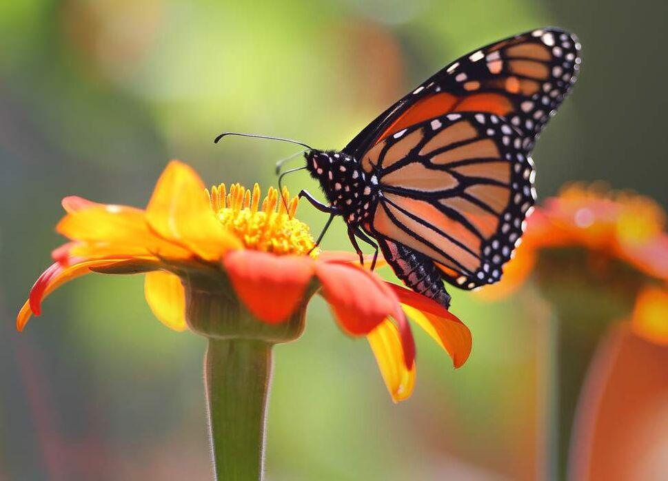 A monarch butterfly looks for nectar in Mexican sunflowers at Winnipeg's Assiniboine Park Monday afternoon. Monarch butterflies start their annual migration usually in late August with the first sign of frost.