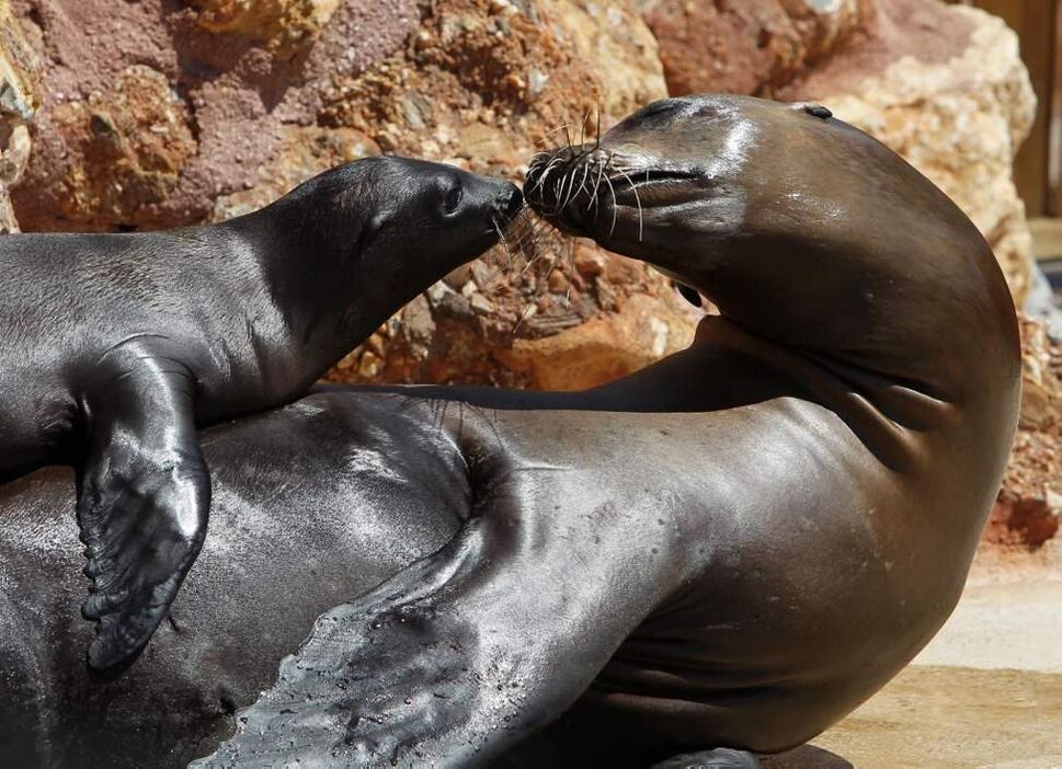 A two month-old California sea lion pup plays with its mother at the Attica Zoological Park in Spata, near Athens. (AP Photo/Thanassis Stavrakis)