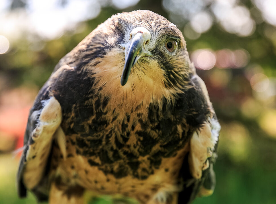 Avro, a four-year-old Swainson's Hawk, was rescued by Manitoba's Wildlife Haven and Rehabilitation Centre after being hit by a vehicle. He had his right eye surgically removed and has no depth perception, so he lives at the Wildlife Haven acting as ambassador in the education program.  A new long-term community land lease from TransCanada will give 18 acres of space near Station 41 in Ile-des-Chenes to the Wildlife Haven, where Vice-President Judy Robertson hopes to build a permanent home to rehabilitate a larger number of rescued wildlife. Friday, June 6, 2014  (Melissa Tait / Winnipeg Free Press)