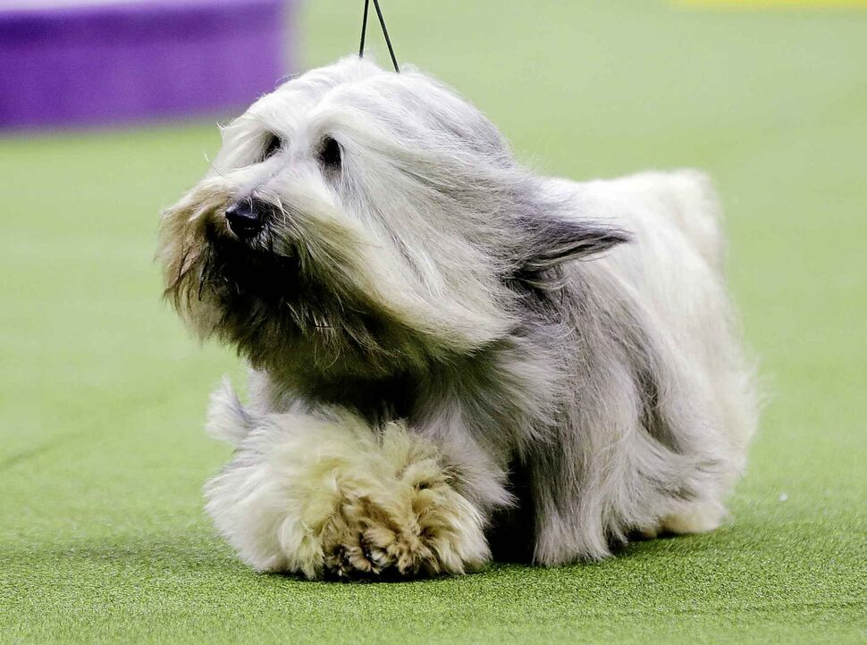 Murphy, a Skye terrier, competes with the terrier group. (Frank Franklin II / The Associated Press)
