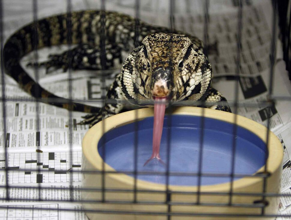 10. (h) any member of the family Teiidae, including, but not limited to, the golden, common or black and white tegu (pictured). (CP)
