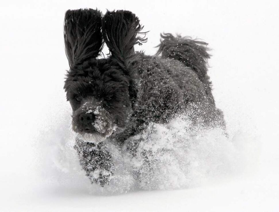 Dashing through the snow... Bailey, a 3-year-old poodle cross rips through the snow while his owners dig out of the city's first winter snow storm. November 11, 2012  (BORIS MINKEVICH / WINNIPEG FREE PRESS)