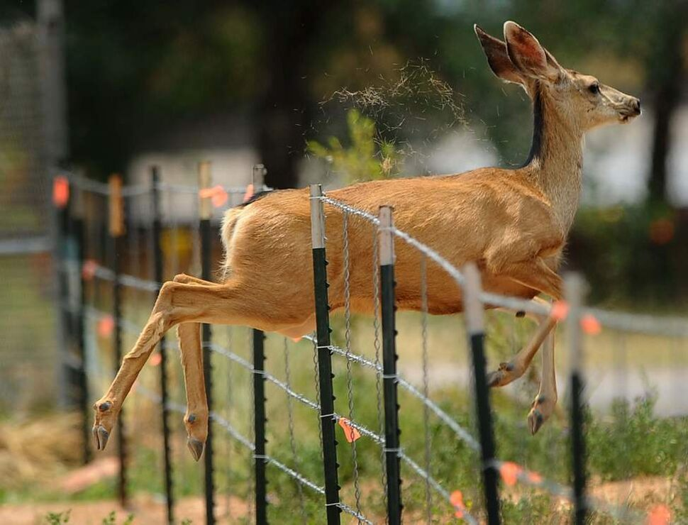 A deer jumps through a fence along U.S. Highway 24 while escaping the Waldo Canyon Fire Sunday, June 24, 2012. (Christian Murdock/Colorado Springs Gazette/MCT)