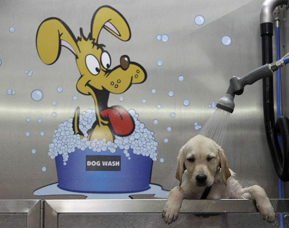 A Labrador Golden Retriever gets a shower at Germany's first Dog Wash in Duisburg, Germany. The dog wash, which was installed in a pet store and runs as self service, delivers a shower, shampoo and a hair dry. (AP Photo/Frank Augstein)
