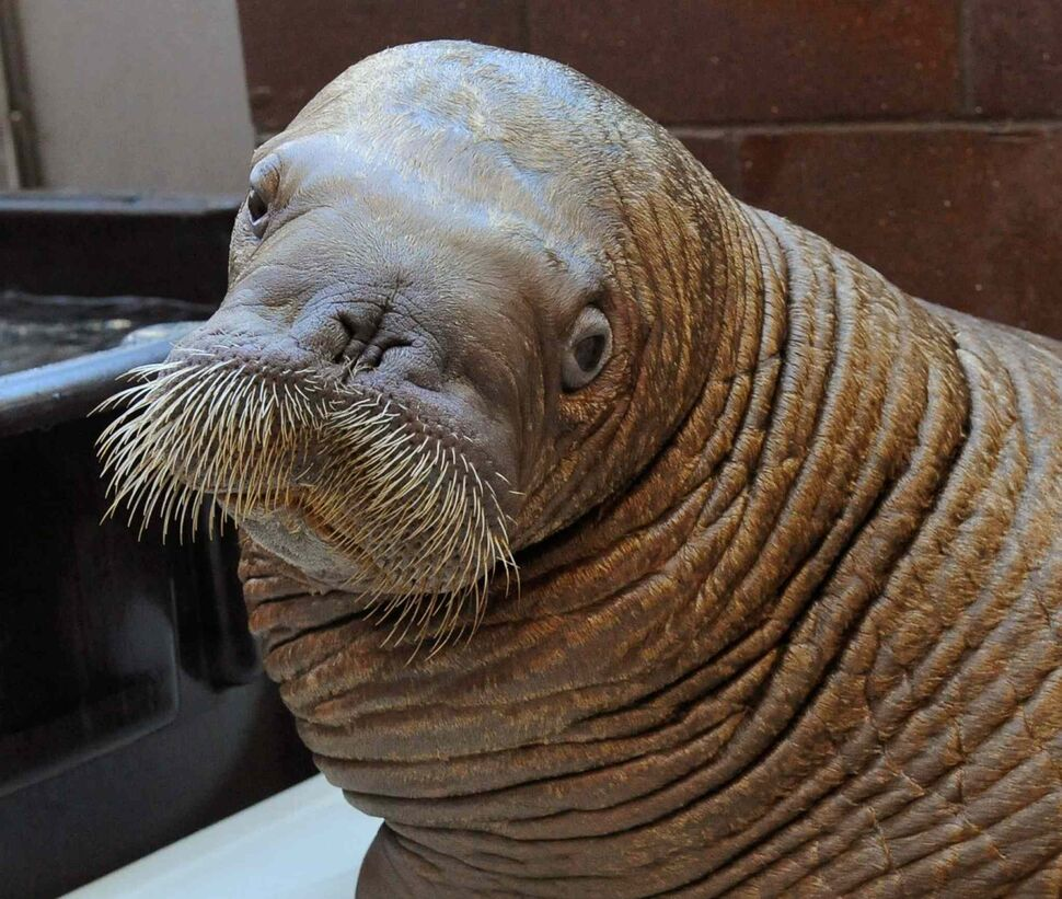 17. Sea mammals (Cetacea, Pinnipedia and Sirenia), including, but not limited to, dolphin, whale, seal, sea lion and walrus (pictured). (Julie Larsen Maher / Wildlife Conservation Society / The ASsociated Press)