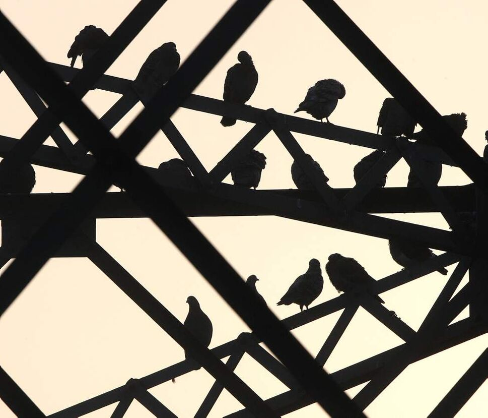 Pigeons perch on the Redwood bridge in Winnipeg Tuesday, October 16, 2012.   (Joe Bryksa/ Winnipeg Free Press)