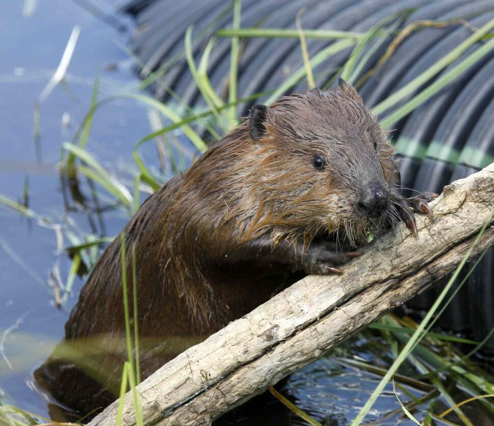 13. All large rodents (Rodentia), including, but not limited to, gopher, muskrat, paca, groundhog, marmot, beaver (pictured), prairie dog, viscacha, and porcupine. (Al Hartmann / The Associated Press)