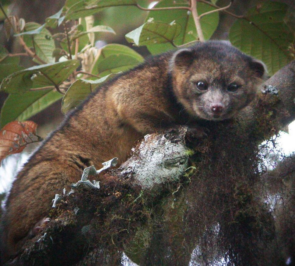 "Hidden away in the cloud forests of Colombia and described as half cat, half teddy bear, this cute creature is the first new carnivore to be discovered in the Western Hemisphere in 35 years. The olinguito has hinted as its existence for years, having been seen in the wild, tucked in museum collections and even exhibited in zoos. But now scientists at the Smithsonian Institute have confirmed that the loveable mammal as a new species of the order Carnivora - ''an incredibly rare discovery in the 21st Century."" Weighing two pounds and with wooly orange brown fur, it lives in the cloud forests of Colombia and Ecuador, as its scientific name neblina - Spanish for fog - suggests.  (Zuma Press / MCT)"