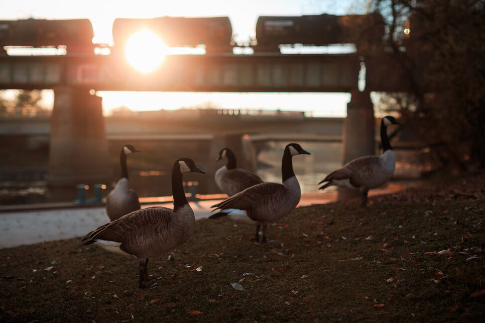 Geese at The Forks. Day 13. (MELISSA TAIT / WINNIPEG FREE PRESS)