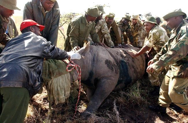 FILE- In this file photo taken on Saturday, April 30, 2005, Kenya Wildlife Services wardens hold a fully grown 30 year old female black Rhino, after it was darted at Nairobi National Park. A Kenyan wildlife official on Friday, July 13, 2018 says seven critically endangered black rhinos are dead following an attempt to move them from the capital to a national park hundreds of kilometers away. (AP Photo/Sayyid Abdul Azim, File)