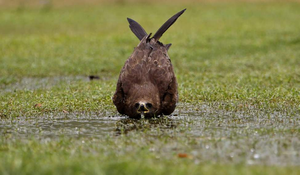 A kite bird drinks water from a puddle in a public lawn in New Delhi, India. The weather in northern India has been extremely hot in recent days with temperatures reaching as high as 45 C. (AP Photo/Saurabh Das)
