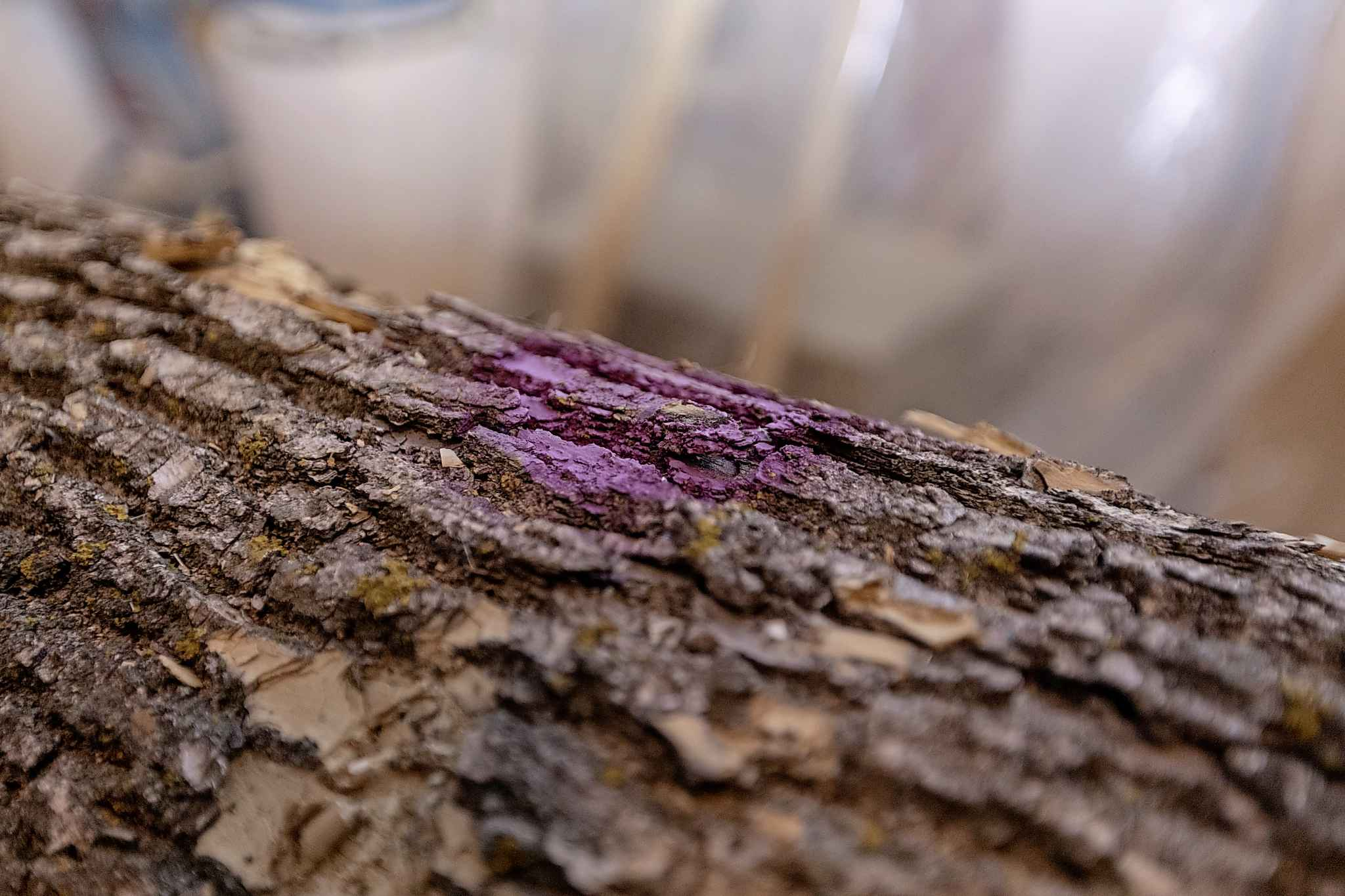 An ash tree marked with purple paint to signify that it is diseased sits in Mike McGarry's warehouse.