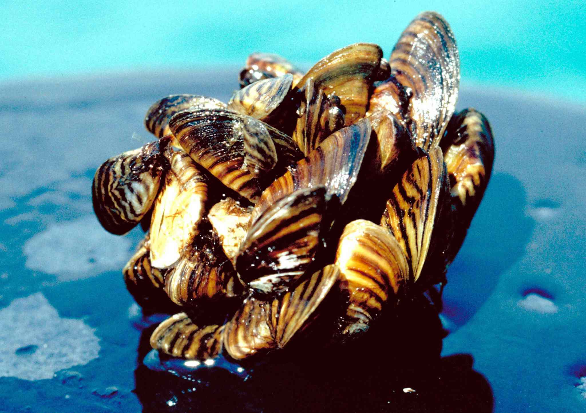 A group of zebra mussels taken from Lake Erie.