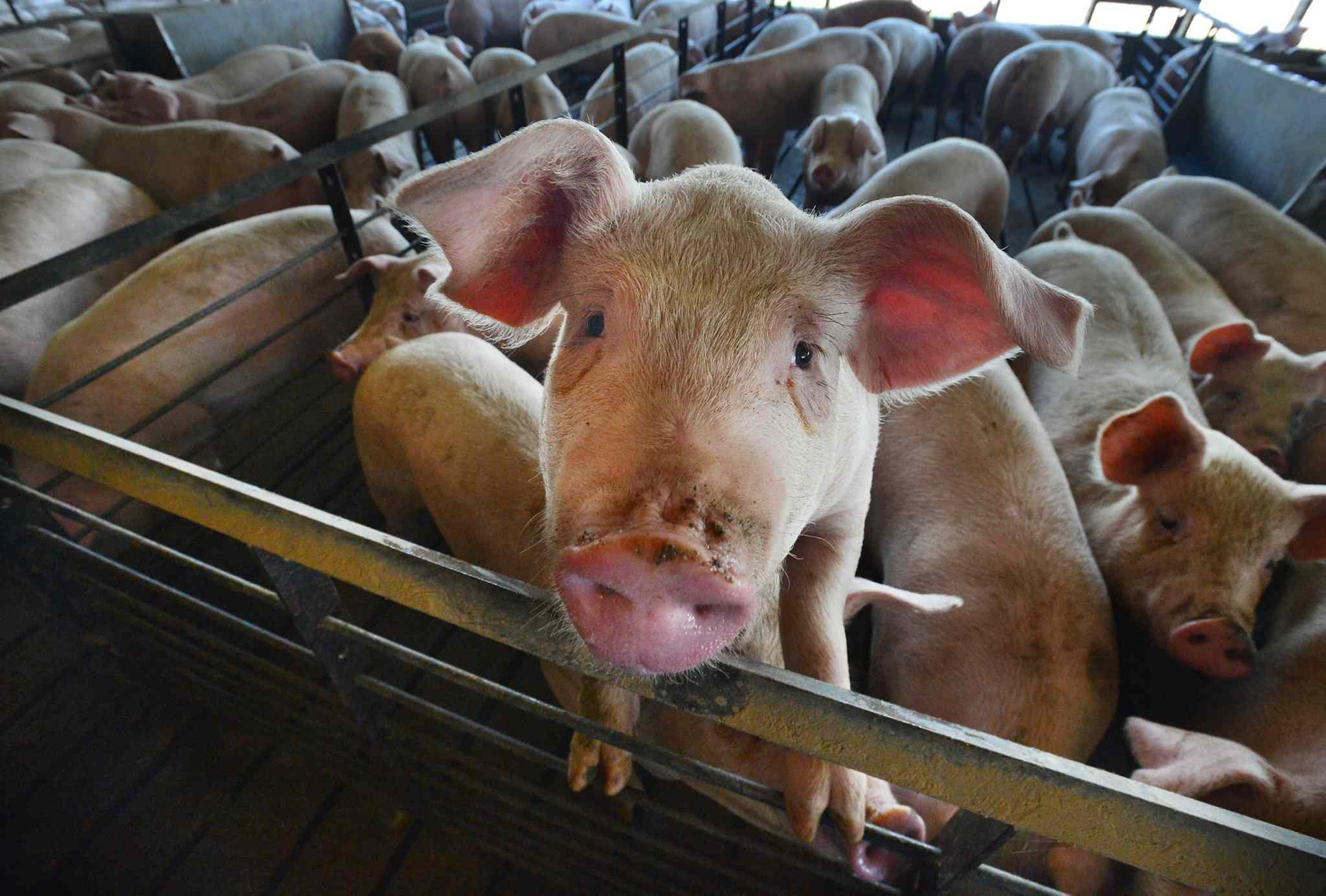 A curious pig looks at visitors to the barn on one of the Silky Pork farms in Duplin County.