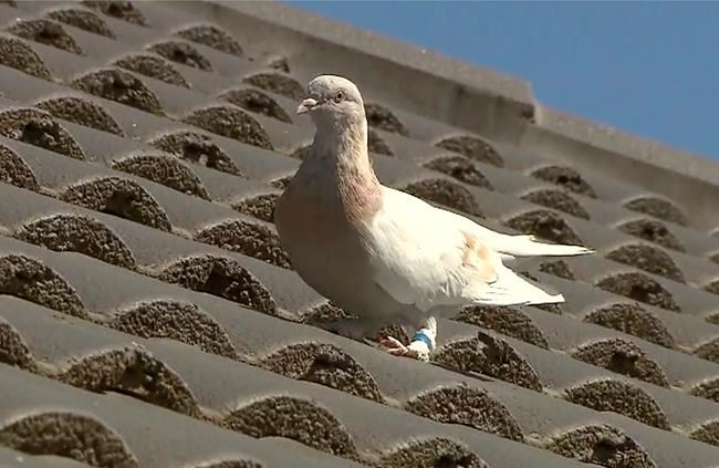 In this image made from video, a racing pigeon sits on a rooftop Wednesday, Jan. 13, 2021, in Melbourne, Australia, The racing pigeon, first spotted in late Dec. 2020, appears to have made an extraordinary 13,000-kilometer (8,000-mile) Pacific Ocean crossing from the United States to Australia. Experts suspect the pigeon named Joe, after the U.S. president-elect, hitched a ride on a cargo ship to cross the Pacific. (Channel 9 via AP)