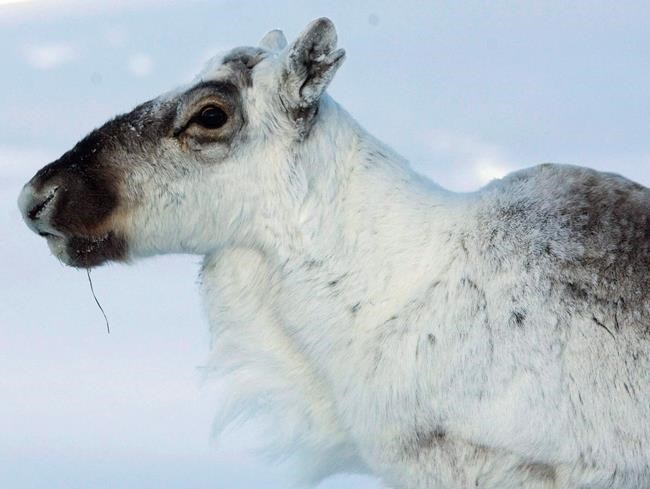 A wild caribou looks on near The Meadowbank Gold Mine located in the Nunavut Territory of Canada on March 24, 2009. Thousands of Canadians have signed documents opposing American moves to open an Alaskan wildlife sanctuary to oil drilling. The documents are being delivered today to U.S. agencies drafting an environmental assessment for energy exploration in the Alaskan National Wildlife Refuge. The refuge is the calving grounds for the Porcupine caribou herd, one of the largest and healthiest of the herds left that is still a mainstay for indigenous people in northern Canada. THE CANADIAN PRESS/Nathan Denette
