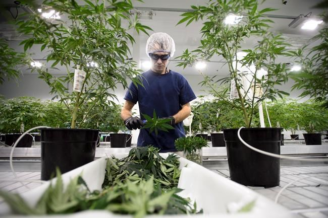 Workers produce medical marijuana at Canopy Growth Corporation's Tweed facility in Smiths Falls, Ont., on February 12, 2018. The Trudeau government is moving to ensure the Senate doesn't hold up its plans to legalize recreational marijuana in July. The government's representative in the upper house, Sen. Peter Harder, wants second reading debate on Bill C-45 wrapped up by March 1, after which it would go to committee for detailed examination. THE CANADIAN PRESS/Sean Kilpatrick