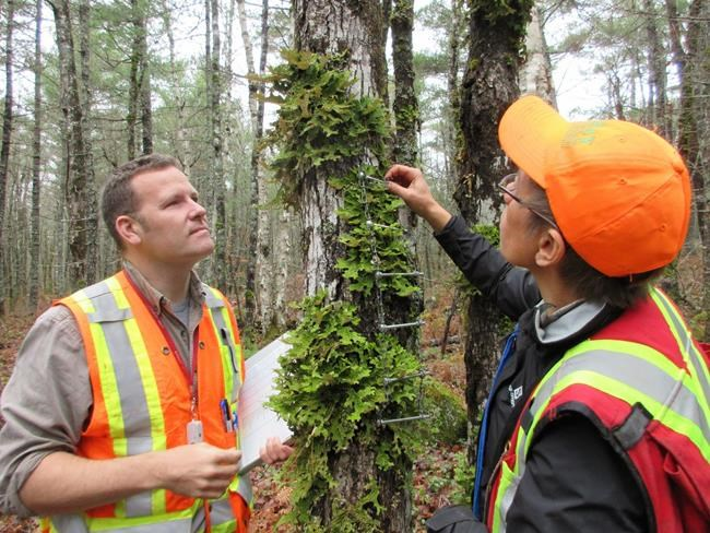 Dr. Troy McMullin, left, and Dr. Yolanda Wiersma examine Lungwort Lichen on a tree during a survey for lichen diversity in Kejimkujik National Park, Nova Scotia, in an undated handout photo. THE CANADIAN PRESS/HO-Donna Crossland, *MANDATORY CREDIT*