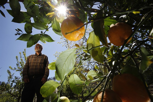 Fruit grower and orchardist Bob Duncan picks lemons from his 10 and 20-year-old lemon trees throughout the year in North Saanich, B.C. The trees bloom on his farm from late March until the end of October, along with temperant fruits like navel oranges, grapefruit, pomegrantes and guava. THE CANADIAN PRESS/Chad Hipolito