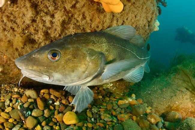 An Atlantic cod is shown near Thyboron, Denmark in July 2017. A slow and steady approach to rebuilding the northern cod stock could see employment in the crucial fishery skyrocket in just over a decade, according to a new study. THE CANADIAN PRESS/HO - Oceana, Carlos Minguell