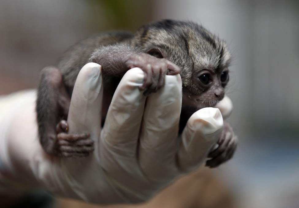 A 15-day-old night monkey clutches the fingers of a veterinarian. (AP Photo/Fernando Vergara)