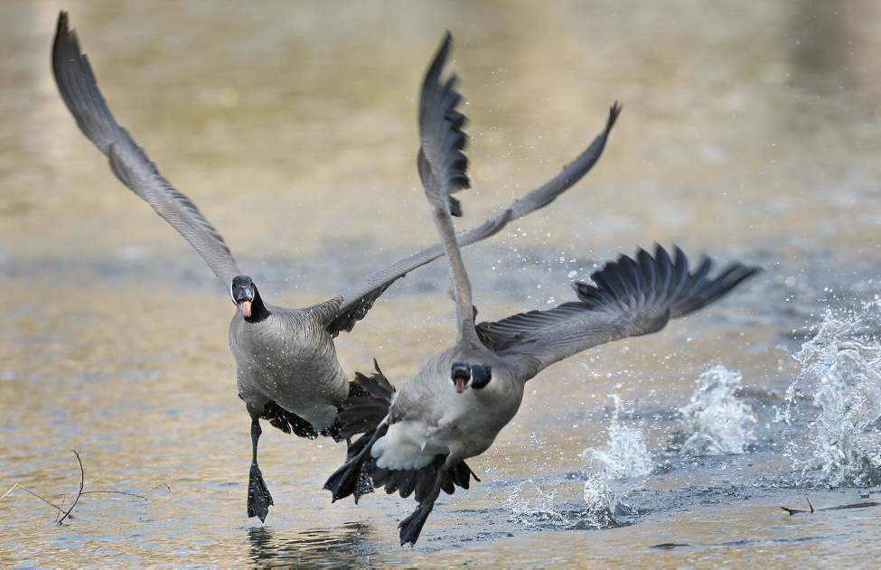 DAY EIGHT - Geese fight as a male defends his nesting site at the duck pond at St. Vital Park Thursday morning. (Joe Bryksa / Winnipeg Free Press)
