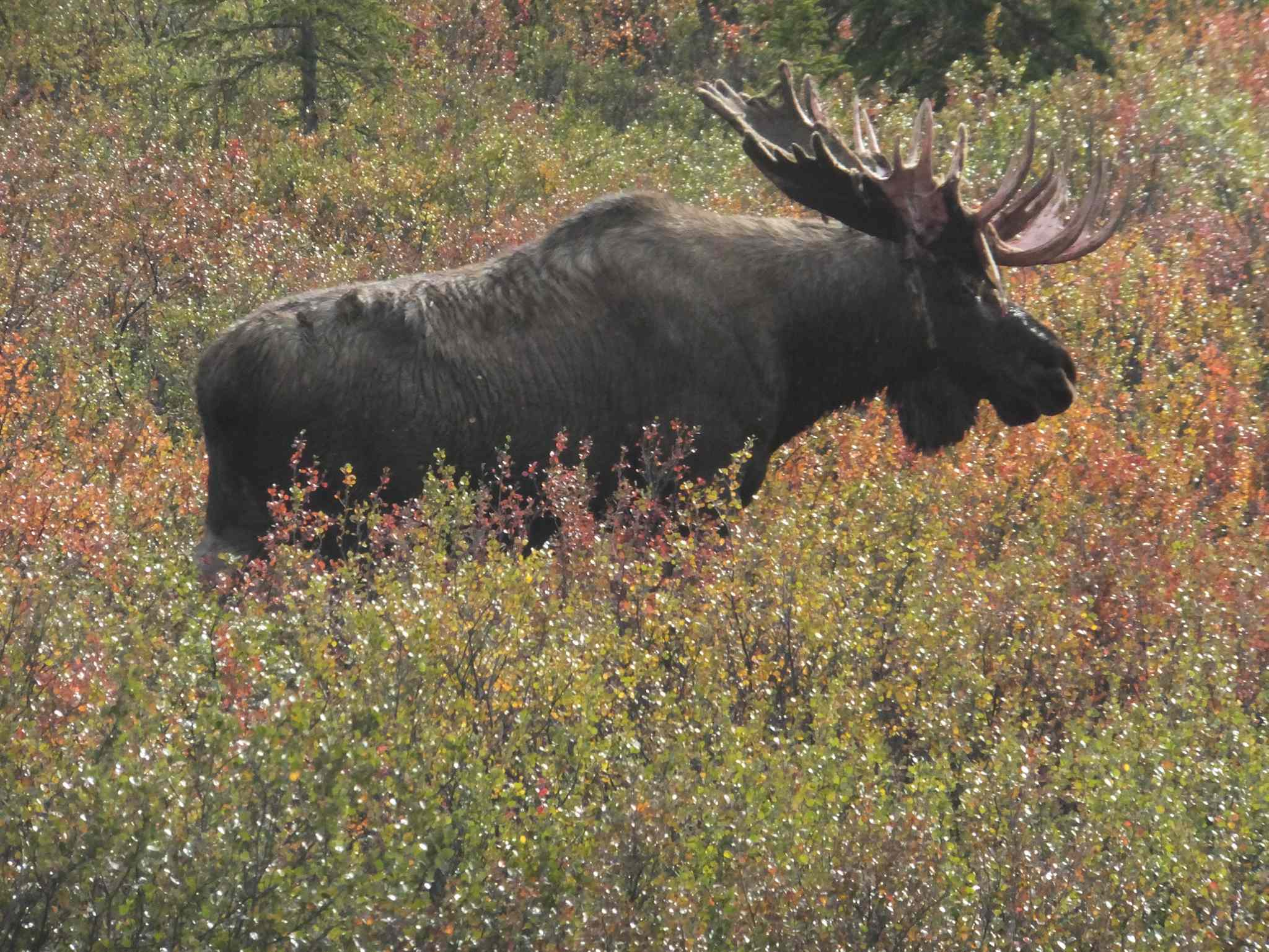 Moose populations have been declining in some areas of Manitoba, forcing the province to ban moose hunting in several regions.
