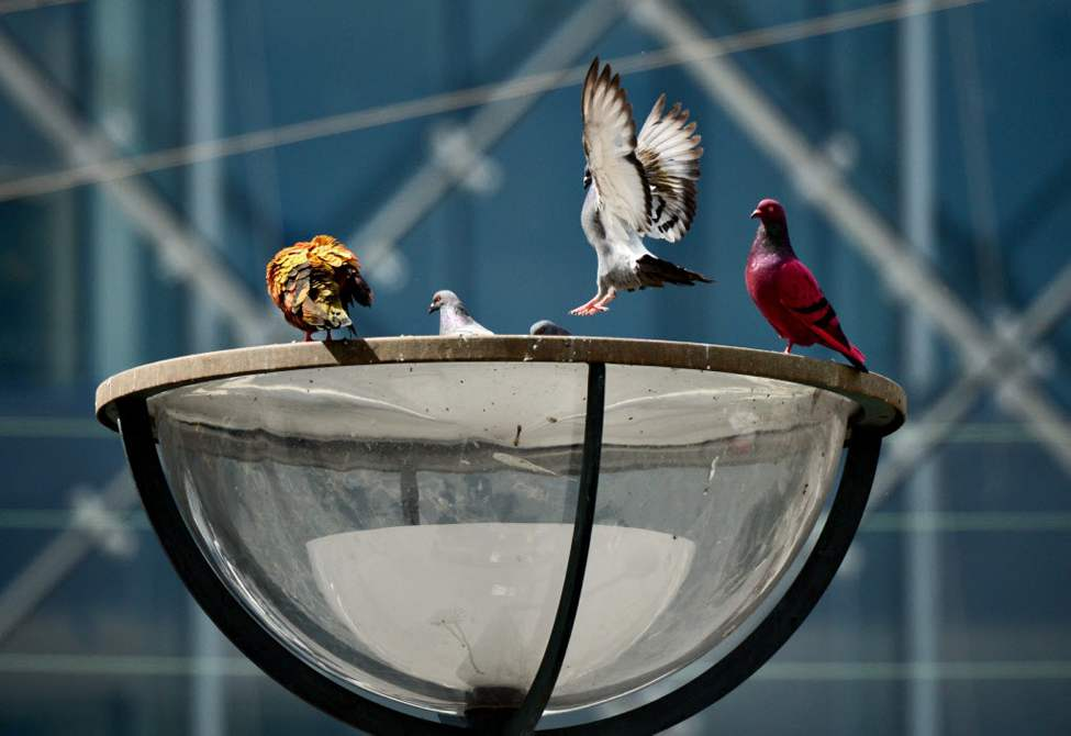 Two artists, Julius von Bismarck and Julian Charriere, use fruit-coloured pigeons as ads for their exhibition Life Clock in Copenhagen. No pigeons were harmed during the process and the colour will come off when it rains. (AP Photo/POLFOTO, Lars Krabbe)