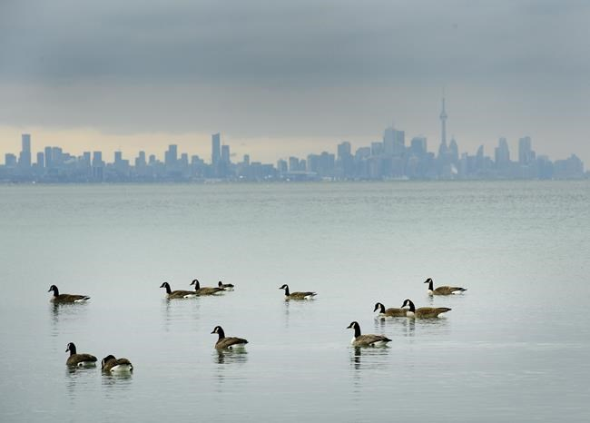 Canadian Geese swim in the cold waters of Lake Ontario overlooking the city of Toronto skyline in Mississauga, Ont., on Thursday, January 24, 2019. Environment Canada research scientists say the COVID-19-induced economic slowdown is leading to cleaner air in many Canadian cities. THE CANADIAN PRESS/Nathan Denette