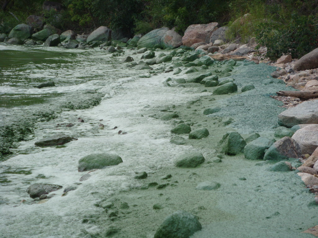 The province said that algal blooms were observed and sampled this past week at Hillside Beach (Lake Winnipeg), Oak Lake Beach, and Ochre Beach (Dauphin Lake). The bloom seen in the photo is from 2010.