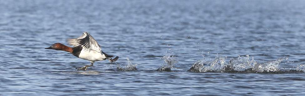 A canvasback duck uses the water as a runway for takeoff.