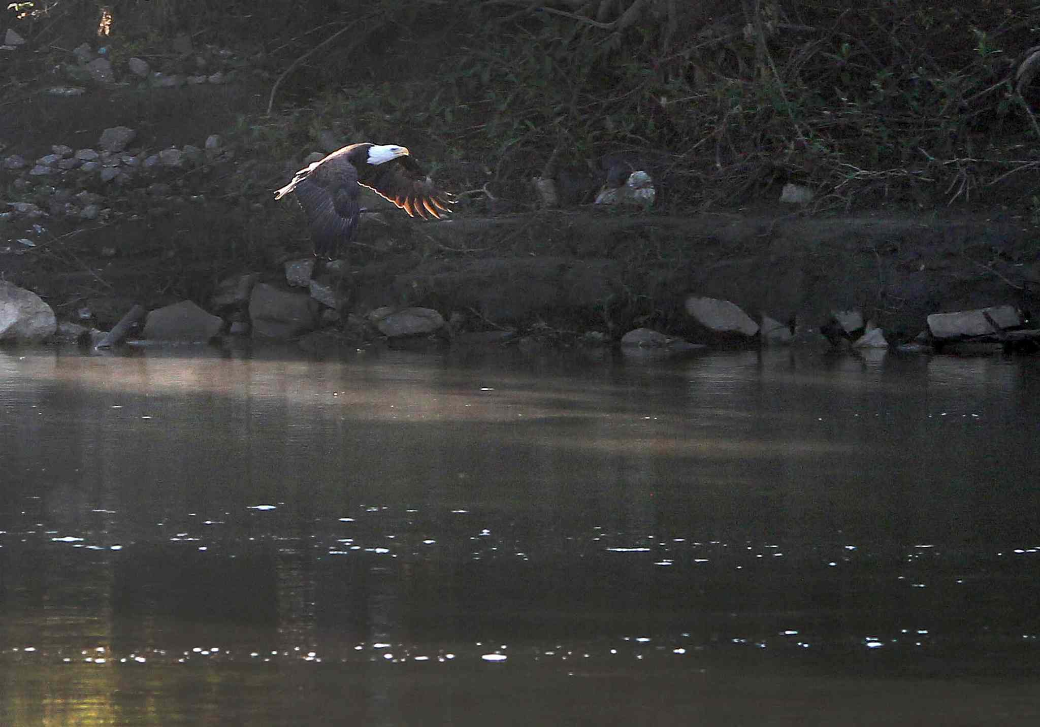 A bald eagle flies over the Red River at the Alexander Docks in Winnipeg Tuesday morning, near the location where police found the body of 15-year-old Tina Fontaine.