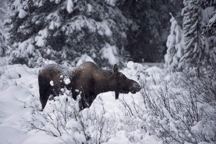 The black market in moose meat is thriving in Manitoba.
