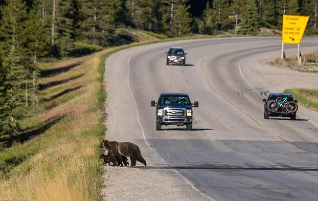 Grizzly bear No. 143 and her two cubs cross the road in Banff National Park in a June 2018, handout photo. She was struck and killed by a train on the railway tracks on Sept. 3. Wildlife experts say the death of the mother grizzly bear and her two cubs -- including a rare white-headed grizzly -- in Banff National Park is a major loss to the population. THE CANADIAN PRESS/HO-Parks Canada, Alex P. Taylor, *MANDATORY CREDIT*