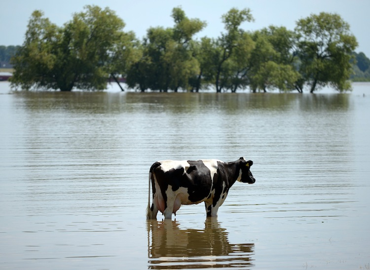 A cow stands on a meadow, flooded by by the nearby Rhine river, in western Germany.