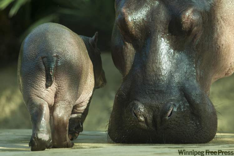 A hippo cub walks next to its mother Nicole during the first public presentation at the Zoo in Berlin, Tuesday. The cub which is yet unnamed was born on Oct. 23, 2011 at the zoo. (Markus Schreiber / The Associated Press)