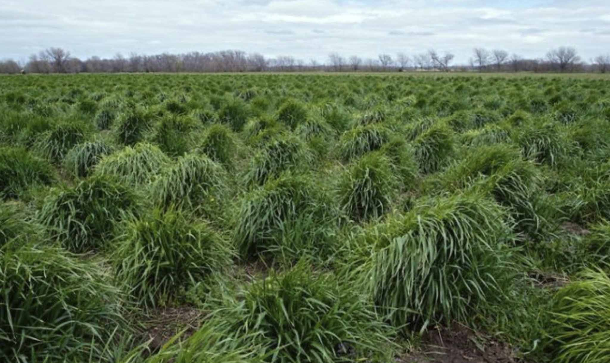 Strands of intermediate wheatgrass, trademarked as Kernza, grow on a plot owned by The Land Institute in Kansas.