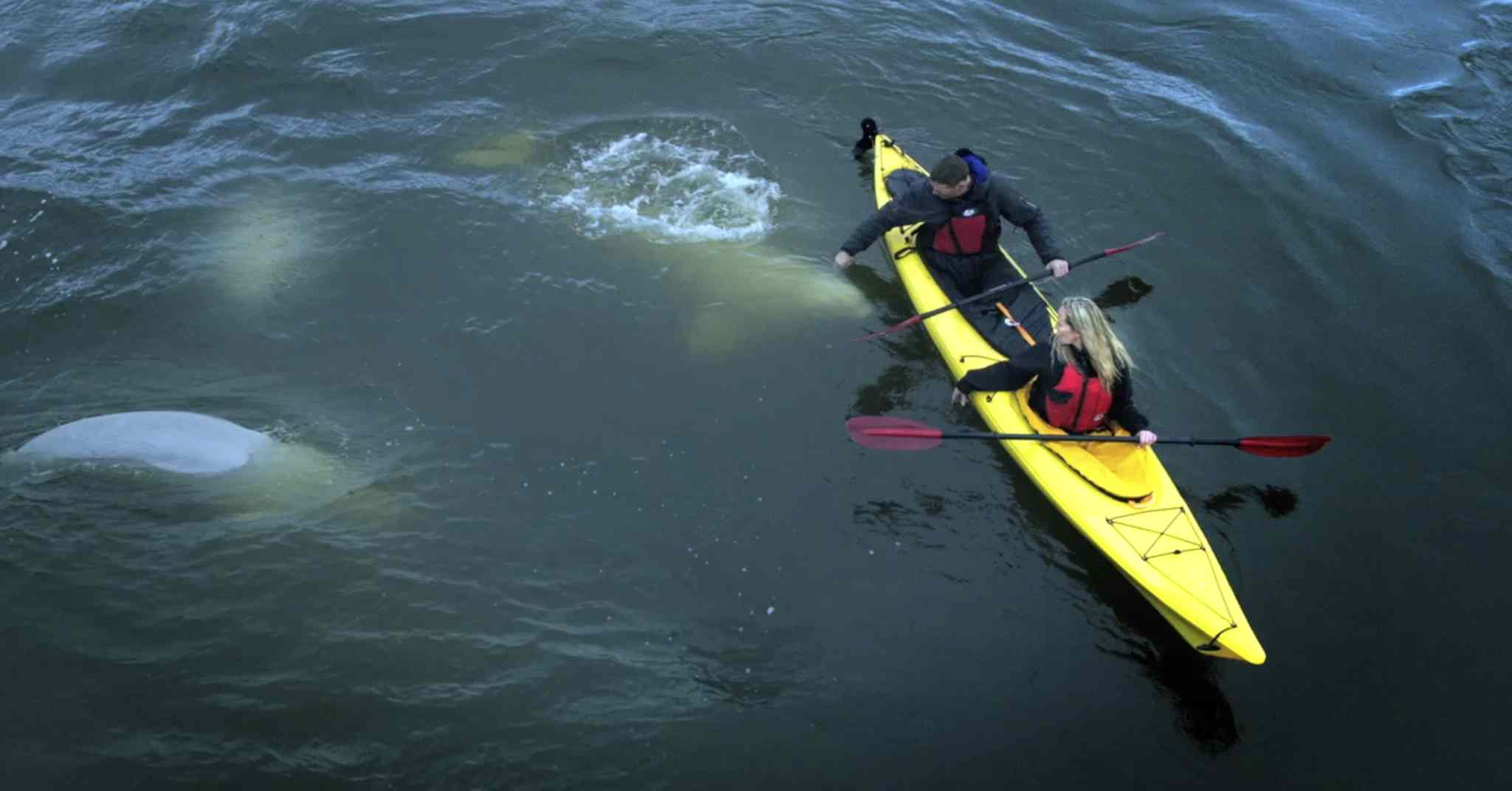 Kayakers -- dubbed authentic experiencers by Travel Manitoba -- paddle alongside beluga whales near Churchill.