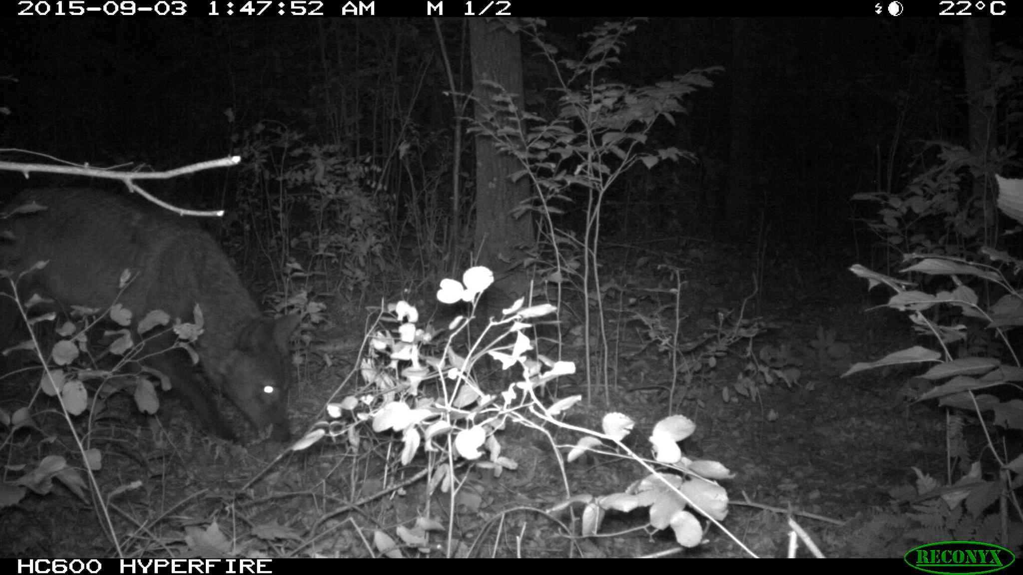 These images of a single wolf near Hillside Beach were recently taken by a trail camera put up by the province. A trail camera, attached to a tree, takes photos automatically when it senses movement.