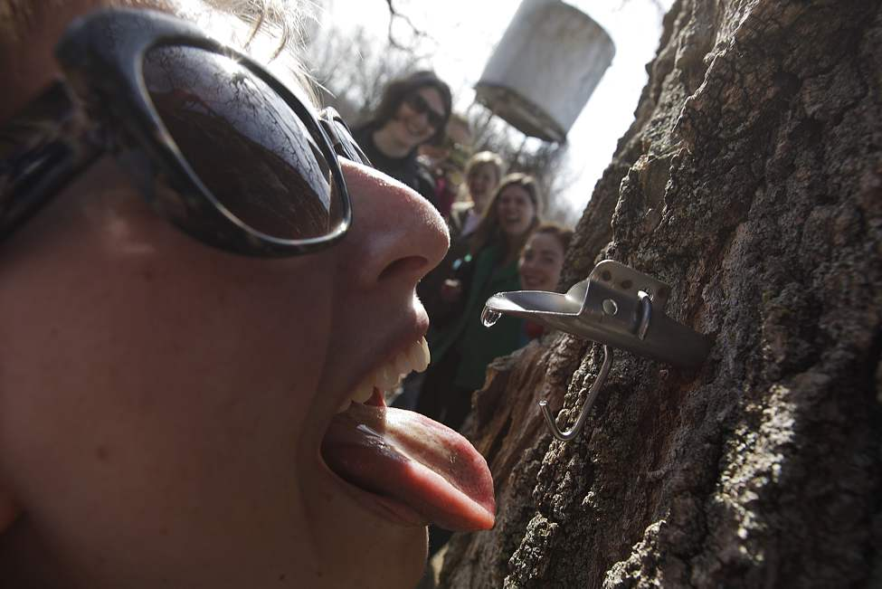 As her friends look on Kaela-Mae Hlushko waits for a drop of sap to fall on her tongue from a freshly tapped maple tree at the Manitoba Maple Syrup workshop at St. Norbert Arts Centre Saturday March 17, 2012.    (John Woods / Winnipeg Free Press)