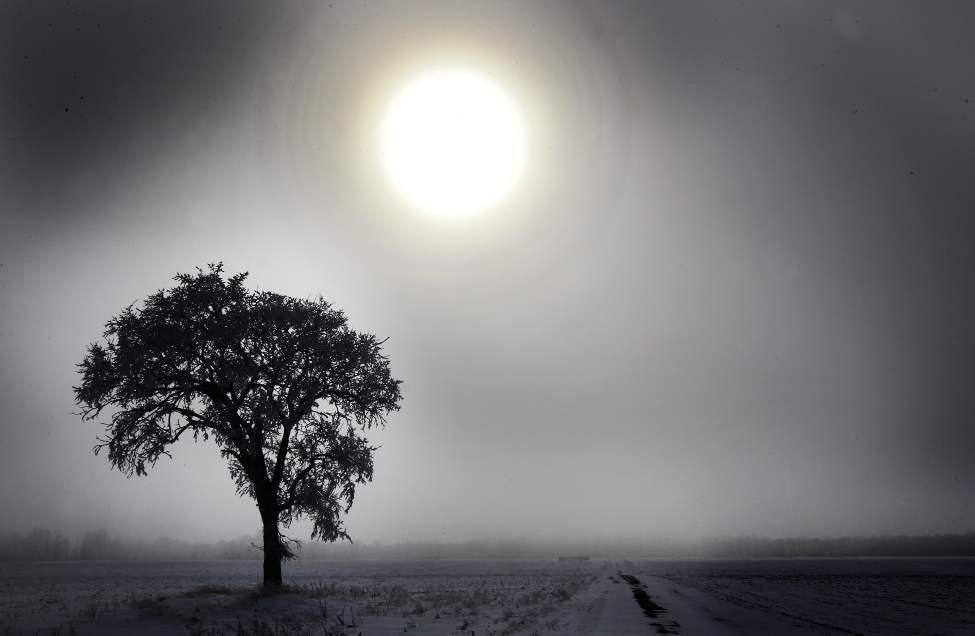 The sun peers through the fog to illuminate a tree covered in hoar frost near Headingley, Manitoba. 