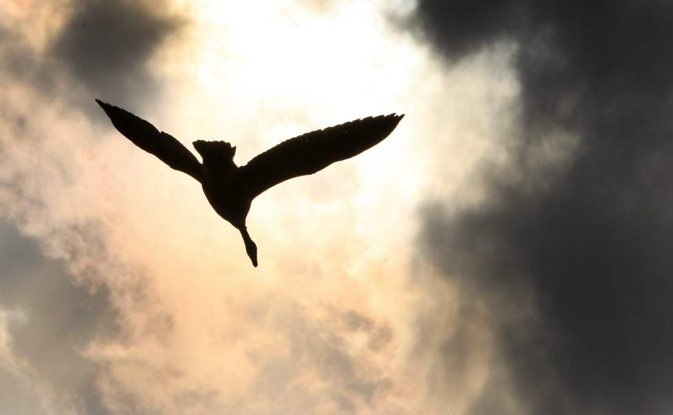 A Canada goose flies towards the sun near the Perimeter Highway North and Main Street.