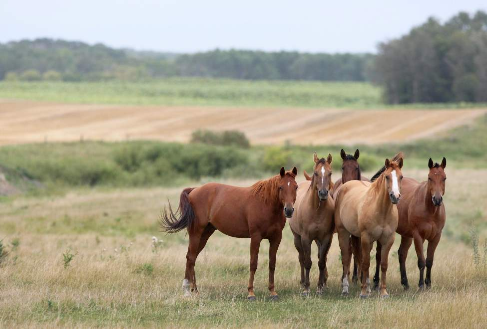 Horses enjoy a beautiful September morning east of Neepawa, Manitoba.