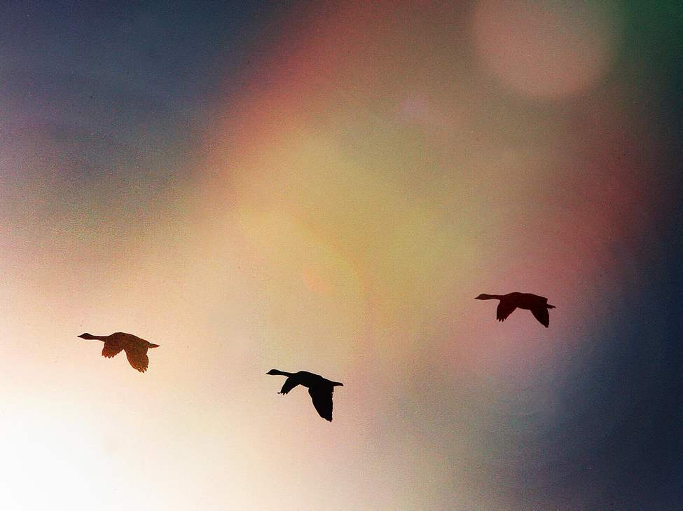 Canada geese fly through morning light in Beaudry Provincial Park in Headingley, Manitoba. 